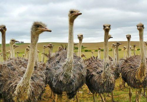 versaility of ostriches